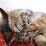 【危険】猫がネギやニンニクを食べてはだめな理由