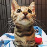 【新入り報告】ベンガル猫が我が家に来る